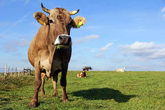 Brown and Simmental cows Stock Images