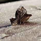 Brown Single Frosty Leaf Standing on Wooden Table. Brown single frosty leaf standing up wedged in frozen wooden table on cold Winter morning, with wooden panel Stock Photography