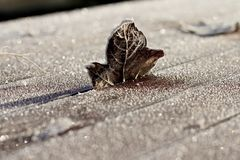 Brown Single Frosty Leaf Standing on Wooden Table. Brown single frosty leaf standing up wedged in frozen wooden table on cold Winter morning, with wooden panel Stock Photos