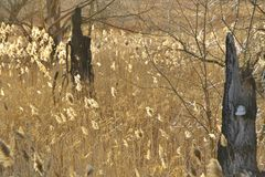 Brown sitowie i drzewni konary z hubą przy zmierzchem Zdjęcia Royalty Free