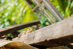 Brown skink on a pile of old wood, selective focus, close up Royalty Free Stock Photography