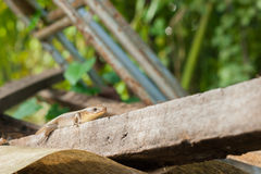 Brown skink on a pile of old wood , selective focus, close up Royalty Free Stock Images