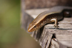 Brown skink. On sunny in Garden Royalty Free Stock Photo
