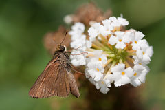 Brown skipper on a butterfly bush. Brown skipper butterfly feeds on a flower of a white butterfly bush; shallow focus background royalty free stock image