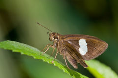 A brown skipper butterfly on a leaf Royalty Free Stock Photo