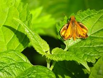 Skipper Butterfly On Green Leaves stock photo