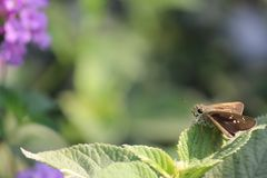 Brown Skipper Moth Perched on Green Leaf Royalty Free Stock Image