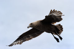 Brown Skua. Flying against blue sky Stock Photography