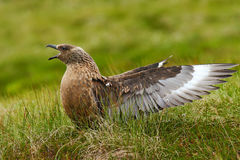 Brown skua, bird in the grass habitat with evening light. Brown skua, Catharacta antarctica, water bird sitting in the autumn gras Royalty Free Stock Photography