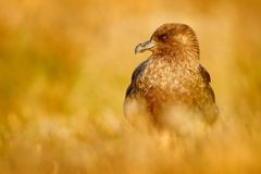 Brown skua, Catharacta antarctica, water bird sitting in the autumn grass, evening light, Argentina royalty free stock images