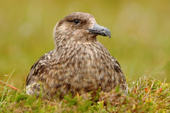 Brown skua, Catharacta antarctica, water bird sitting in the autumn grass, evening light, Norway Stock Photo
