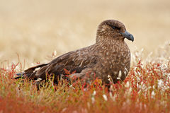 Brown skua, Catharacta antarctica, water bird sitting in the autumn grass, Norway. Skua in the nature habitat. Bird in the red gra. Brown skua, Catharacta royalty free stock image