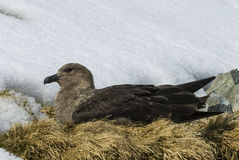 Brown Skua is nesting Royalty Free Stock Photo