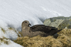 Brown Skua is nesting Stock Photo