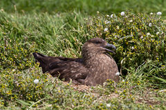 Brown Skua is nesting Stock Photography