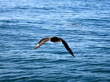 Brown Skua royalty free stock photography