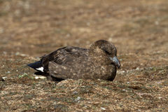 Brown Skua Stock Photography