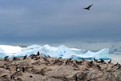 Brown skua stalking a Gentoo penguin colony, Antarctica. A stealthy brown skua swoops overhead, watching for exposed eggs in a Gentoo penguin colony Stock Photo