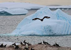 Brown skua stalking Gentoos, Antarctica. A brown skua swoops in low overhead, on the hunt for exposed eggs in a Gentoo penguin colony Royalty Free Stock Images