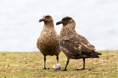 Brown Skuas Stock Images