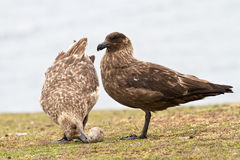 Brown Skuas Royalty Free Stock Image