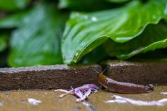 The brown slug crawls on the wet paving slab in the rain in search of a green leaf royalty free stock photography