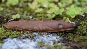 Brown slugs are an undesirable species in stock footage