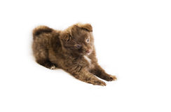 Brown small baby dog. Brown small dog baby spitz  on isolated white background Stock Photography