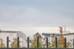 Brown Small Beaked Bird on Fence Stock Photography
