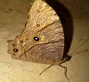 Brown small butterfly royalty free stock photo