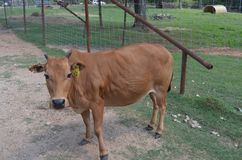 Brown small cow Stock Photo