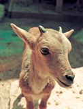 Brown Small goat Stock Images