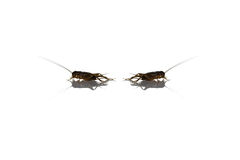 Brown of small gryllidae on white. Stock Images