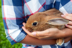 Brown small hare sits in mans hands Stock Photo