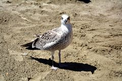 Smiling gull on the beach,  gull on sand Stock Image