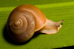 Brown Snail. Snail on Leaf Royalty Free Stock Image