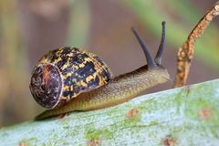 Brown snail Royalty Free Stock Photography