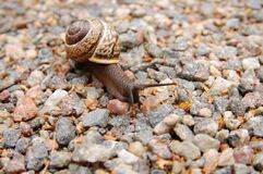 Brown Snail on Brown Pebbles Royalty Free Stock Photos