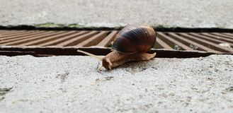 Brown Snail. Over a brown gate royalty free stock images