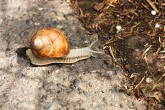 Brown snail Royalty Free Stock Photo