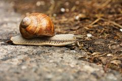 Brown snail Stock Images