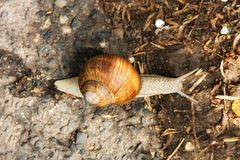 Brown snail Royalty Free Stock Photos