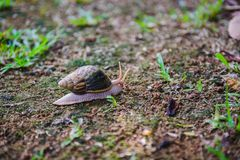 Brown snail crawling on ground close up. Close-up of brown snail crawling on ground. Tropical nature on Seychelles island stock images