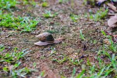 Brown snail crawling on ground close up. Close-up of brown snail crawling on ground. Tropical nature on Seychelles island royalty free stock photo