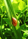 Brown snail on grass. Brown snail on green grass, Lithuania Stock Photo