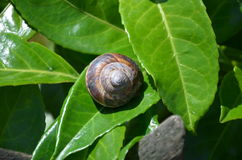 Brown snail on green leaf Royalty Free Stock Images