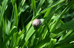 Brown snail on green leaf Royalty Free Stock Photos