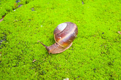 Brown snail on the green moss. Royalty Free Stock Image