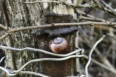Brown Snail Hanging on Rusty Metal Pipe Which Tied up with Old Grey Wood Board with Aluminum Wire Royalty Free Stock Image