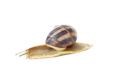 Brown snail. Isolated on a white background Royalty Free Stock Photos